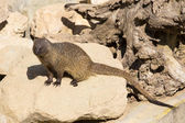 Little african mongoose — Stock Photo