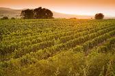 Vue de la soirée des vignobles — Photo