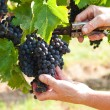 Grape harvest — Stock Photo #13938354
