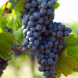 Bunch of blue grapes — Stock Photo #13938422