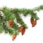 Tree branch with pinecones — Stock Photo #13938486