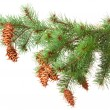 Tree branch with pinecones — Stock Photo