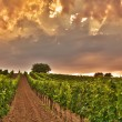 Stock Photo: Evening view of vineyards