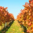 Autumn vineyards with colorful leaves — Stock Photo #34596549