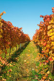 Autumn vineyards with colorful leaves — Stock Photo