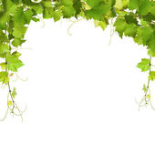 Bunch of green vine leaves and grapes vine — Stock Photo