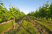 Vineyard in spring sunny day — Stock Photo