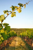 Photo vine leaves in the background view on vineyard — Stock Photo
