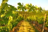 в представлении фон на винограднике листья винограда фото — Стоковое фото