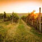 Sunrise over a vineyard — Stock Photo #50005303