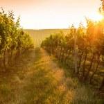 Sunrise over a vineyard — Stock Photo #50005305