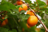 Ripe apricots on the branch — Stock Photo