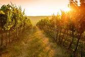 Sunrise over a vineyard — Stock Photo