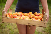 Female hands holding a wooden box full of apricots — Stock Photo