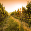 Sunset over a vineyard — Stock Photo #50447657