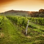 Sunrise over a vineyard — Stock Photo #50447699