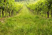 Vineyard in spring sunny day — Stock Photo