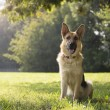 Young purebreed alsatidog in park — Stock Photo #21234863