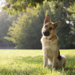 Young purebreed alsatian dog in park - Stok fotoğraf