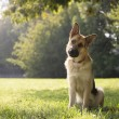 Young purebreed alsatian dog in park - Stok fotoraf