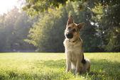 Jonge purebreed elzasser hond in park — Stockfoto