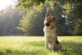 Young purebreed alsatian dog in park — Stockfoto
