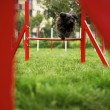 Pet running, agility race with dog jumping over hurdle - Stockfoto
