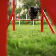 Pet running, agility race with dog jumping over hurdle — Foto de Stock