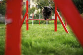 Pet running, agility race with dog jumping over hurdle — Stock Photo