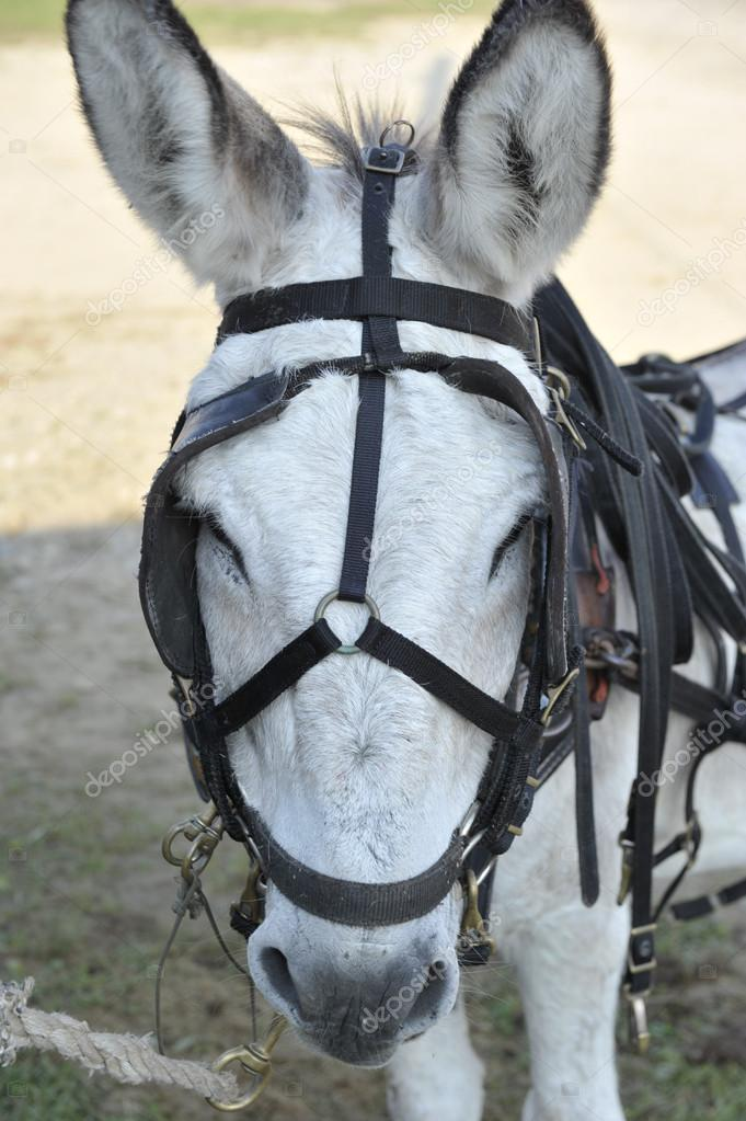 White donkey in harness/tack at County Fair — Stock Photo #12967702