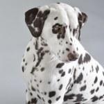 Dog Dalmatian — Stock Photo