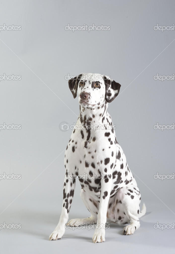 Dog, dalmatian, studio portrait photography — Stock Photo #21291587