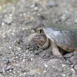 Stock Photo: Snapping turtle