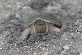 Snapping turtle — Foto de Stock
