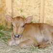 Stock Photo: Animal (calf)