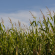 Iowa Cornfields — Stock Photo