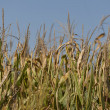 Iowa Cornfields — Stock Photo #12891114
