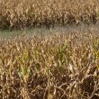 Iowa Cornfields — Stock Photo #12891116