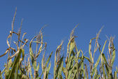 Iowa Cornfields — Photo