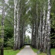 Stock Photo: Birch alley.