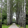 Foto Stock: Birch alley.