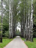 Birch alley. — Stock Photo