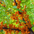 Rowan berries. - Stock Photo