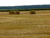 Wheat fields in Belarus. — Stock Photo