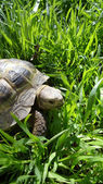 Turtle in the grass. — Stock Photo