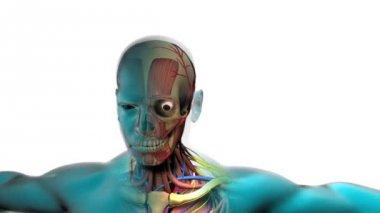 Raio-x do esqueleto humano e os músculos — Vídeo stock