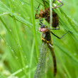 Birth of a dragonfly. — Stock Photo
