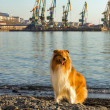 Scottish collie on the beach. — Stock Photo