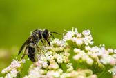 Bumblebee. Collecting nectar. — Stock Photo