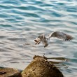 Seagull on the hunt. — Stock Photo